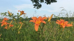 Orange day lilies, under a milky-blue sky and a few leafy branches of my favorite tree, welcome summer.