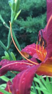 A day lily, in striking hues of magenta, orange, and yellow is decorated with rain drops after a summer shower. The background is a blur of greenery.
